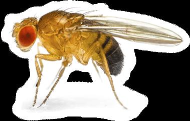 Adult male Drosophila melanogaster.