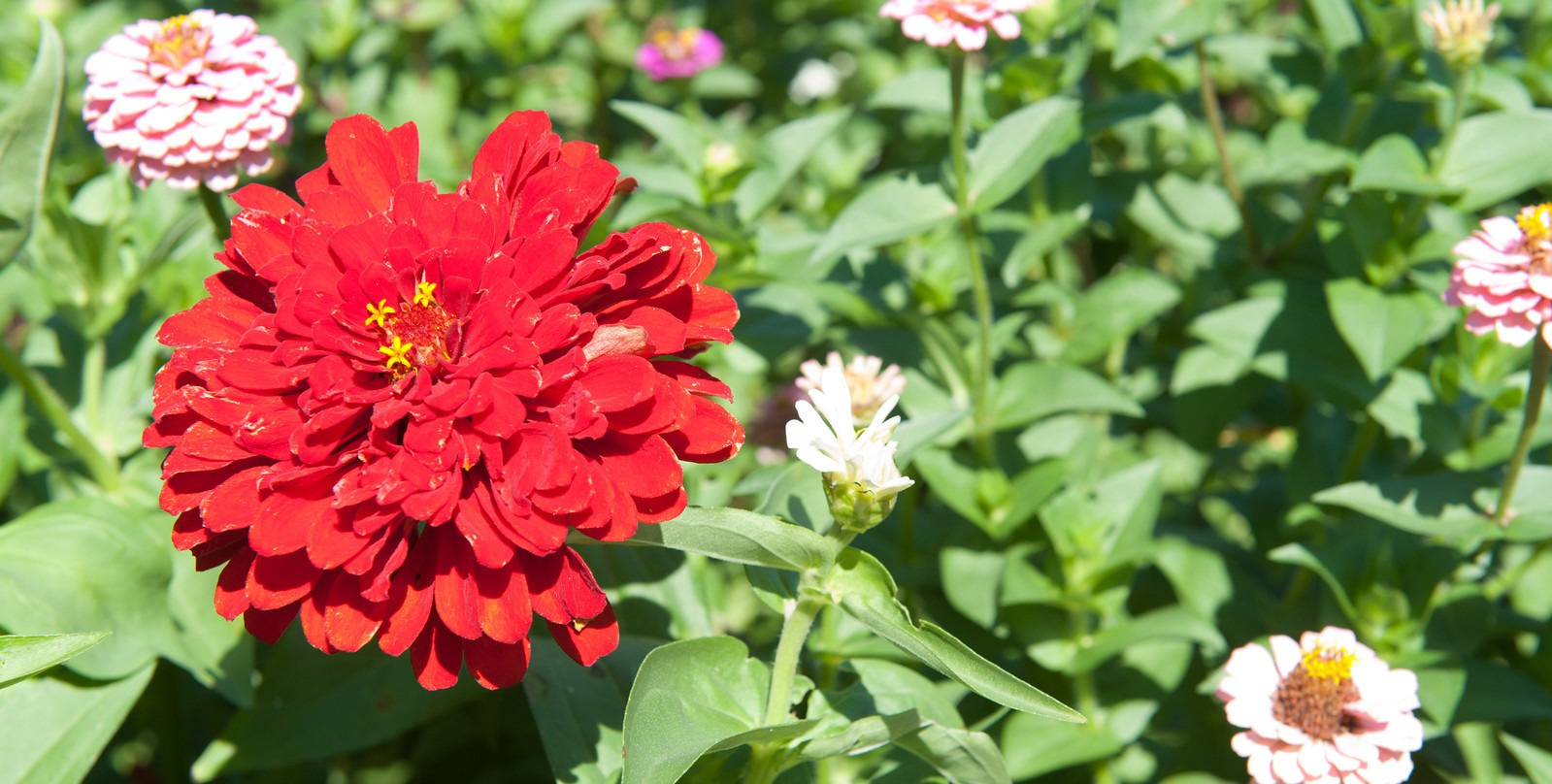 red flower on the right with some pink ones intermixed